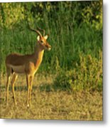 Male Impala At Sunset Metal Print