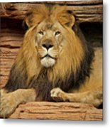 Male Lion Looking Right At Me Metal Print