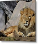Male Lion Resting In The Warm Sunshine Metal Print