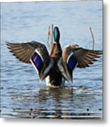 Male Mallard In Glorious Color  7515 Metal Print