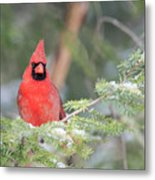 Male Northern Cardinal 2 Metal Print