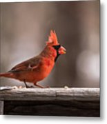 Male Northern Cardinal Winter New Jersey  Metal Print