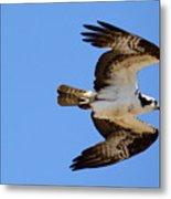 Male Osprey In Flight Metal Print
