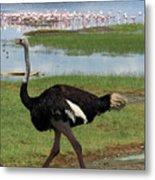 Male Ostrich Metal Print