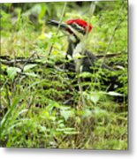 Male Pileated Woodpecker On The Ground No. 2 Metal Print