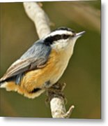 Male Red Breasted Nuthatch 2151 Metal Print
