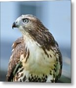 Male Red Tail Metal Print