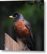 Male Robin Metal Print