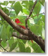 Male Summer Tanager Metal Print