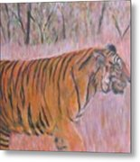 Adult Male Tiger Of India Striding At Sunset  Metal Print