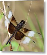 Male Widow Skimmer Dragonfly #3 Metal Print