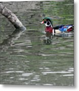 Drake Wood Duck On Pond Metal Print