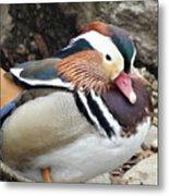 Male Wood-duck Metal Print