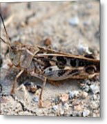 Male Wrinkled Grasshopper Metal Print