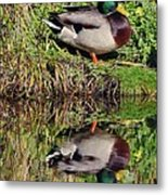 Mallard And Reflection Metal Print