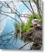Mallard At Silver Lake Metal Print