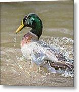 Mallard Duck Bathing Time In Dam Metal Print