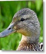 Mallard Duck Female Metal Print