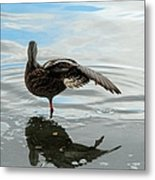 Mallard Duck Hen Stretching Wing Metal Print