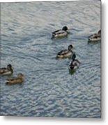 Mallard Ducks In Pond 2 Metal Print