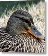 Mallard Female 2 Metal Print
