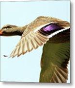 Mallard In Flight . 40d5450 Metal Print
