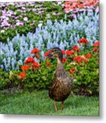Mallard In The Garden Metal Print