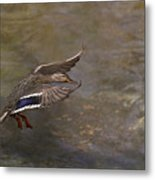 Mallard Landing On Thompson's Pond Metal Print
