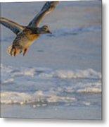 Mallard Landing Over Ice Metal Print