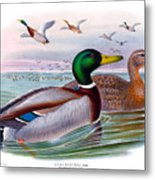 Mallard Or Wild Duck Antique Bird Print Joseph Wolf Birds Of Great Britain  Metal Print