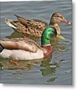 Mallard Pair Swimming, Waterfowl, Ducks Metal Print