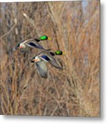 Mallard's In Flight Metal Print
