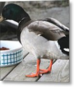 Mallards Like Cat Food Metal Print