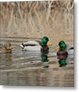 Mallards On The Pond Metal Print