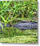 Mama Gator With Babies Metal Print
