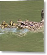 Mama Mallard And Her Ducklings Out For A Morning Swim Metal Print