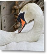 Mama Swan At Abbotsbury Metal Print