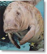 Manatee Swimming Underwater Metal Print