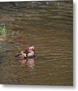 Mandarin Duck 20130508_314 Metal Print