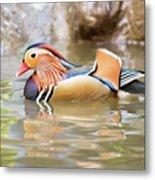 Mandarin Duck Swimming Metal Print