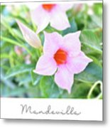 Mandevilla Pink Beauty Metal Print