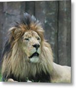 Mane Standing Up Around The Head Of A Lion Metal Print