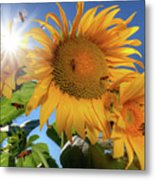 Many Bees Flying Around Sunflowers Metal Print