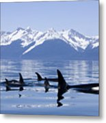 Many Orca Whales Metal Print by John Hyde - Printscapes