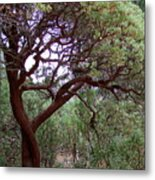 Manzanita Tree By The Road Metal Print