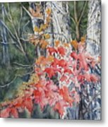 Maple And Birch -new England  Fall Metal Print