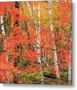 Maple Birch Forest In Autumn Metal Print