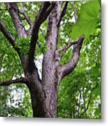 Maple Branches Metal Print