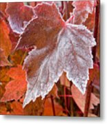 Maple Frost  Metal Print