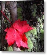 Maple Leaf Still Life Metal Print